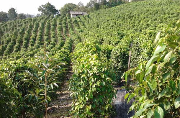 Aplikasi Pestisida Nabati Untuk Mengendalikan OPT Lada di Bangka