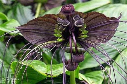 Bunga Kelelawar Hitam : Tanaman Obat Nan Eksentrik